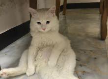 قطه ذكر شيرازي وجه مون فيس نقي العمر 5  اشهر  عيون زرق + التر بوكس بصحه جيده جدا