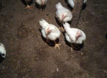 فرخة بيضة أورجانيك للشوي و الحشو ب 40
