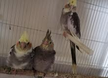 7 cockatiel birds, home trained, with a cage for sale   سبع طيور كوكتيل للبيع مع