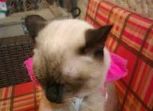 قطا سيامي للبيع اليف قابل للتفاوض
