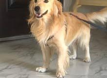 كلب كوكر علي جولدن