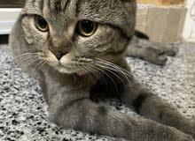 قطة سكوتش فولد انثى للبيع مع ملحقاتها