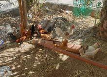 دجاج وديكه للبيع 6دجاجات 4ديك
