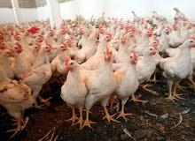دجاج هيبي للبيع عمره 3أشهر