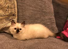 3 month old male himalayan ragdoll kitten for sale