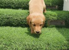 جراوي جولدن ريتريفر بيور golden retriever puppies