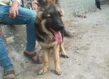 كلب جيرمن شيبرد 6 شهور