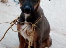 كلبه مالينو