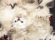 قطط هيملايا للبيع