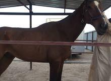 حصان ارقىواني ذكر مخصي ينفع الطفال وا الا كبار وا يمشي 40K