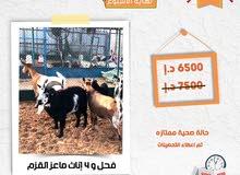 فحل و4 اناث قزم
