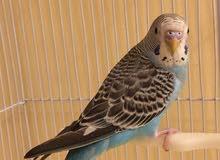 طائر بادجي ازرق صحة ممتازة