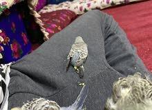 فروخ طيور حب اليفة وتاكل من اليد