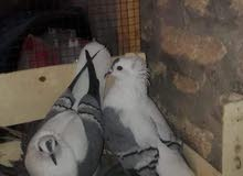 طيور سكسوني