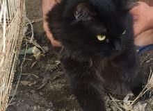 قطط لبيع لطيف جدا. جدا