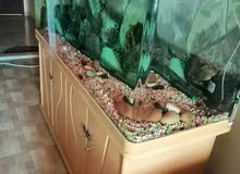 Big fish tank and 2 arowana fish