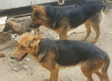 كلاب المني معا هوسكي عمر شهر