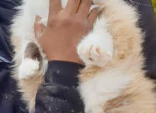 قطة سيامي فارسي  نبي نبدل بيها بقرديل ومطعمة بكتيبها  الصحي