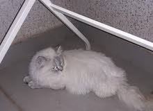 قطط شيرازي وتايقر