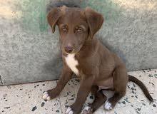 جرو كلب ريتريفر للبيع ، التواصل واتس اب فقط