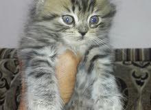 للبيع قط شيرازي صغير يأكل بروحه 33635596 ملاحظة لعيون بنفسجي