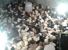 لبيع صيصان دجاج عمانيات