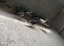 اجواز طاووس شباب