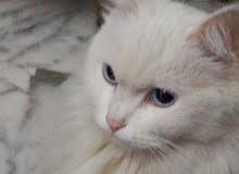 قطة شيرازي عمر 8اشهر  مطعمة كل مطاعيمها نظيفة