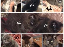بيع 5 قطط