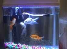 سمك صغير الحجم