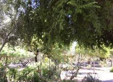 شتلات عنب عماني