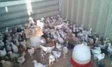 دجاج فرنسي للبيع