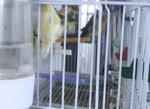 طيور كناري مكس للبيع