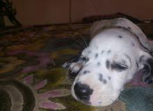 كلب دلمشن جميل جدا جدا عنه 42يوم للبيع او للبدل بي ايفون 6