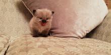 قطة هملايا