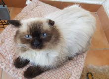 Exotic Himalayan for sale..