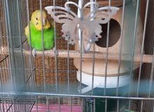 Budgies Breeder pair