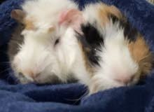two female guinea pigs with cage + food