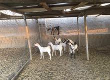 ماعز بيشية