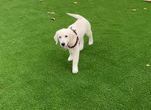 Golden retriever puppy available