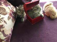 Siberian Scottish fold and straight