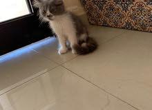 male kitten Persian