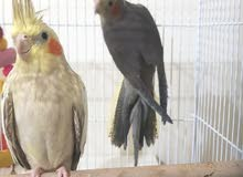 2 cocktiels for 300 aed