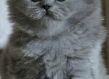 persian moon face cat