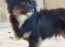 كلب لولو فوكس ...ذكر