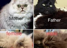 قطط صغيرة Kitten للبيع جدة