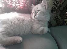 قطط شيرازي ذكر و نثايه لعوبين جدآ خاصه النثايه لعوبه حيل