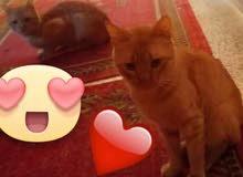 قطط ذكر ميكي وميشو تؤام بعيشو مع بعض نظاف مهضومين مابياذو للتبني مجاناً