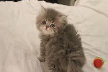قطة انثى