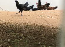 دجاج الاندونيسي